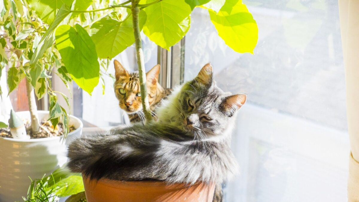 大型猫用のトイレ特集